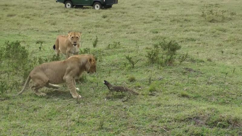 マングースとライオンの修羅場動画
