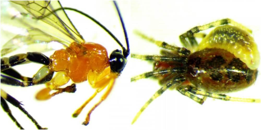 天敵をゾンビ奴隷化する新種の蜂