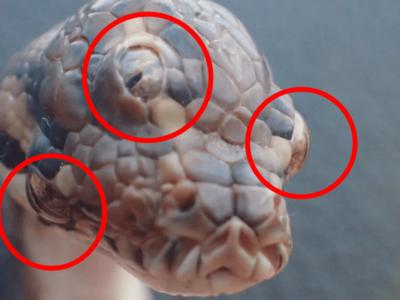 世にも奇妙な三つ目蛇を発見