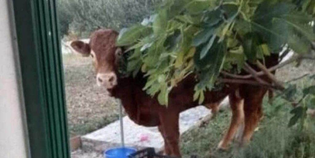 屠殺場から牛が逃走中