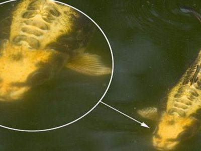 中国の人面魚