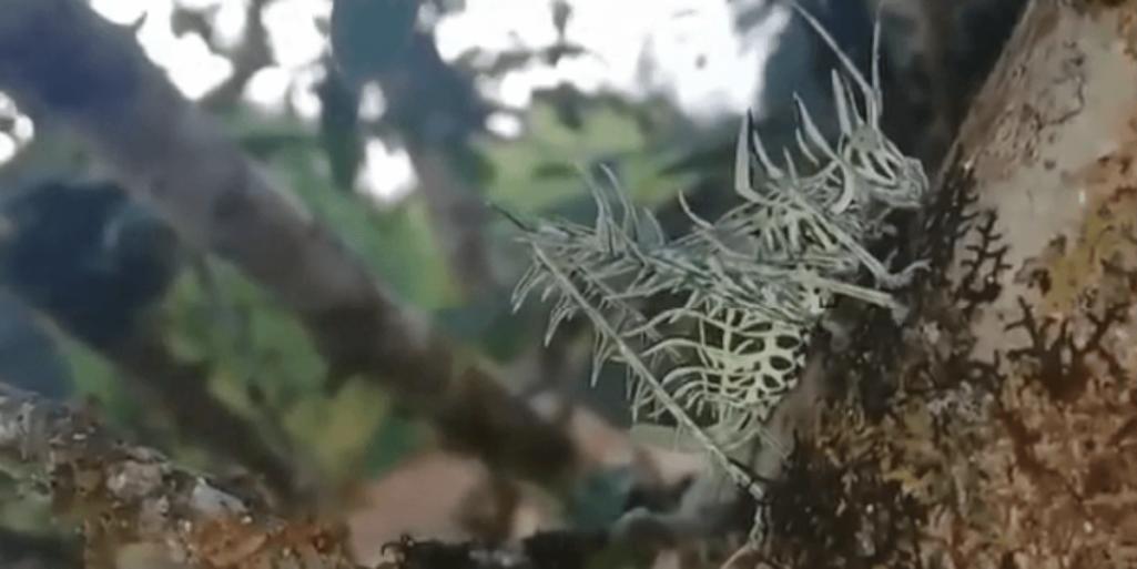 奇妙なホネホネの昆虫発見