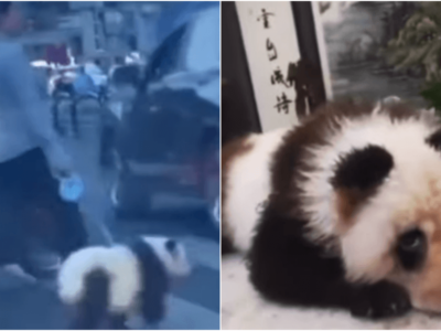 中国のお散歩パンダ動画