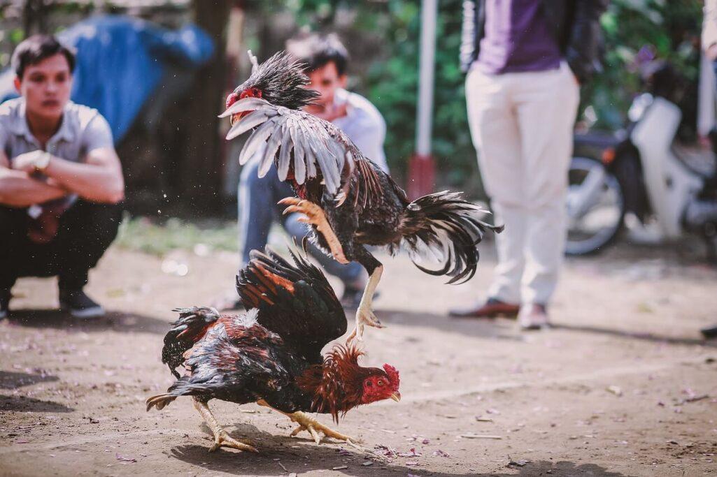 闘鶏のニワトリが飼い主を殺害
