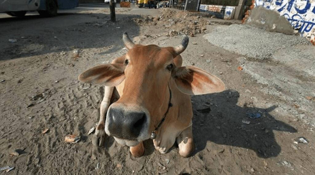 牛の尿を飲んでコロナ感染対策