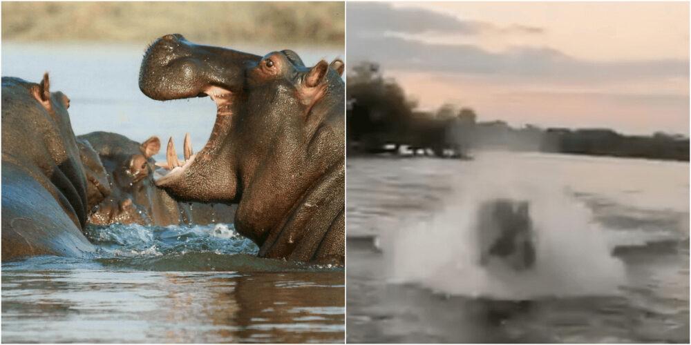 最強生物カバに水中から追いかけられる恐怖動画
