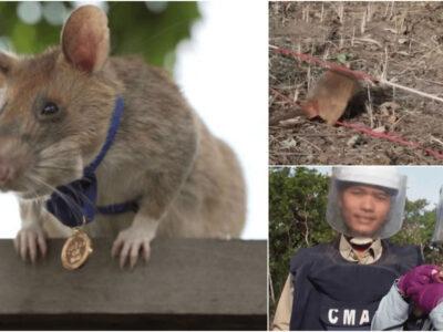 地雷を嗅ぎ分ける英雄ネズミが引退