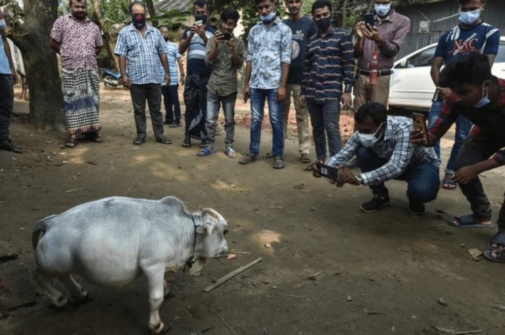 世界一小さな牛