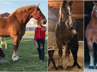 ギネスが認めた世界一背の高い馬
