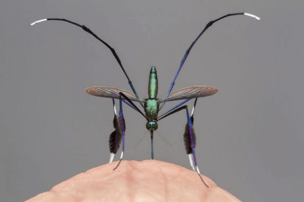 世界一美しい蚊